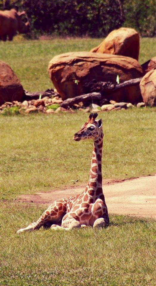 Giraffe at Australia Zoo