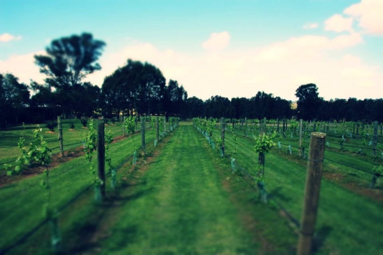 A Hunter Valley vineyard, Australia