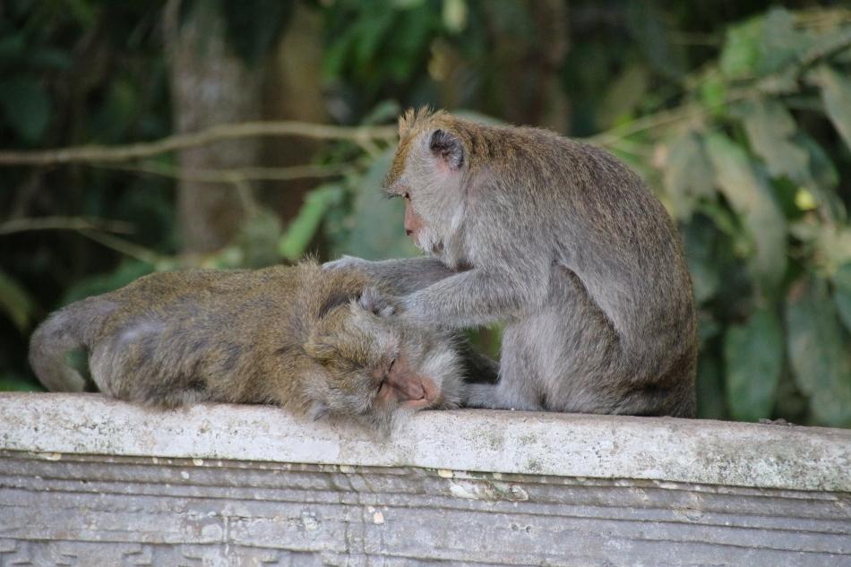 Monkeys at the Alas Kedaton Monkey Forest