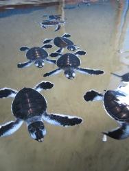 Turtles at Kosgoda Sea Turtle Conservation Project, Sri Lanka