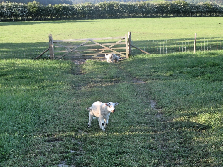 Lambs in the field at The Grainary