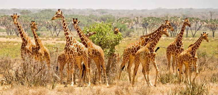 A tower of reticulated giraffes in Samburu National Park, Kenya