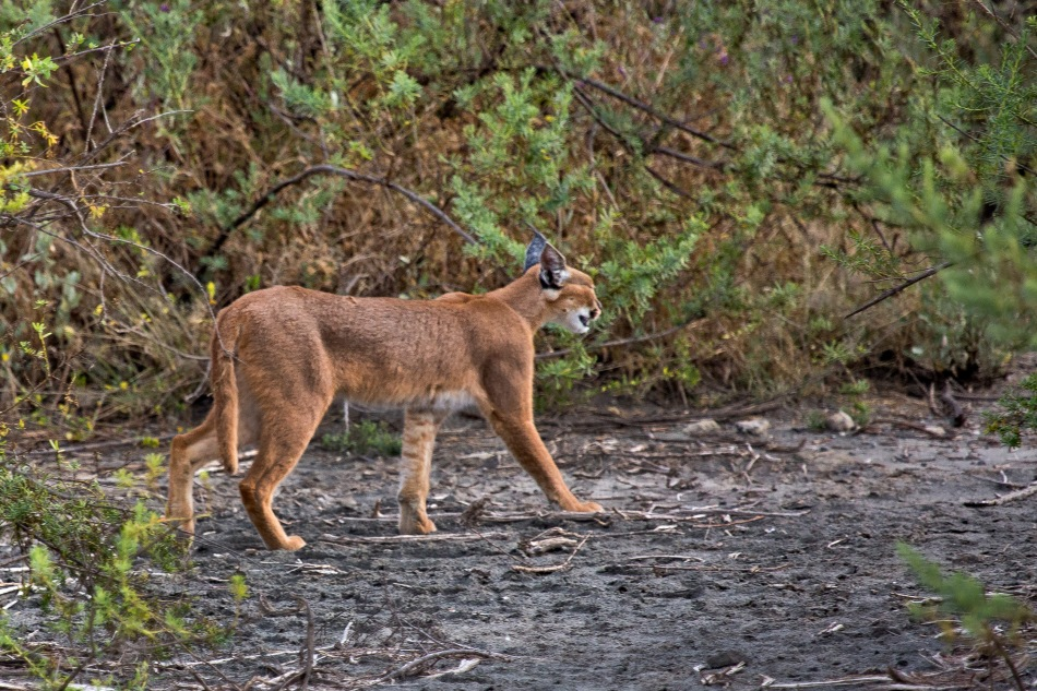 The elusive caracal at Nduti, Tanzania