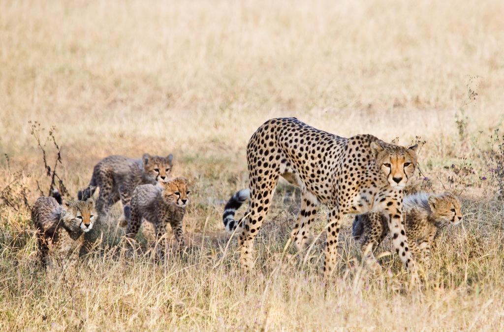 Cheetah at Ndutu, Tanzania