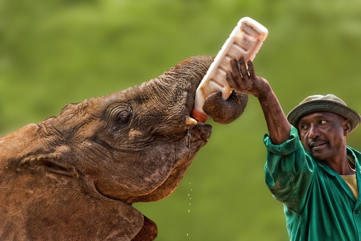 In Nairobi you can watch baby elephants being fed at the David Sheldrick Elephant Orphanage