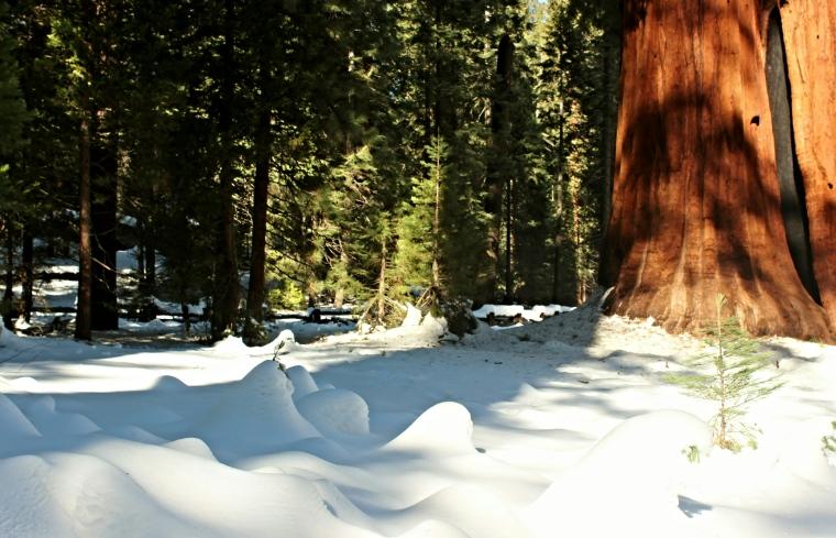 Sequoia In California