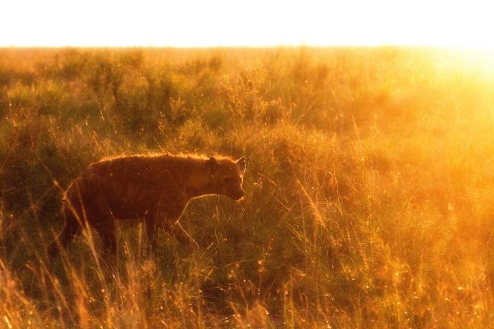Hyena in the sunset in Serengeti National Park, Tanzania