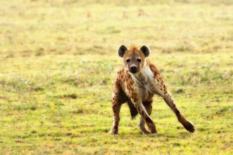 spotted hyena in Serengeti National Park, Tanzania