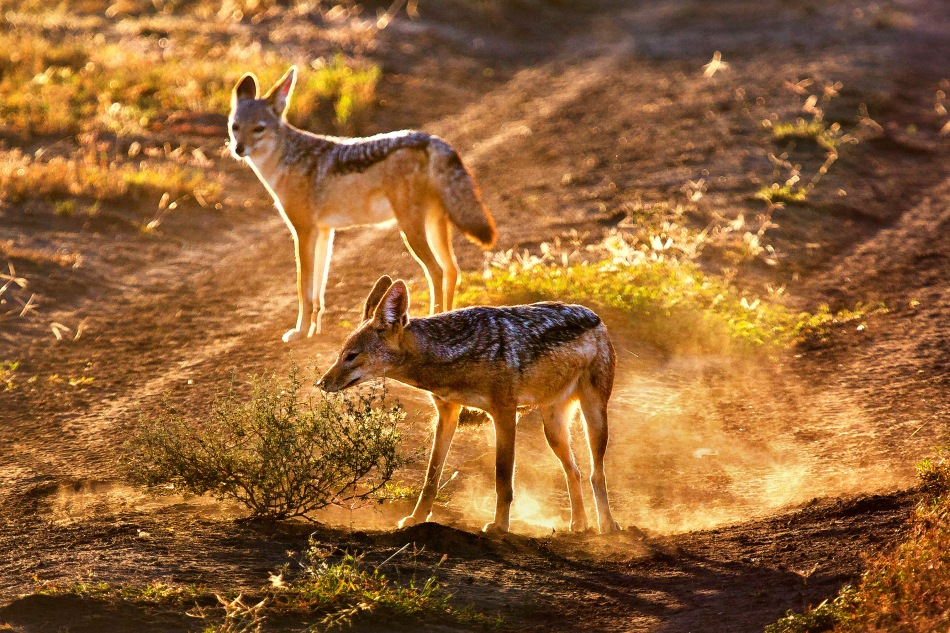 Black backed jackal play in the early morning light in Ngorongoro Conservation Area, Tanzania