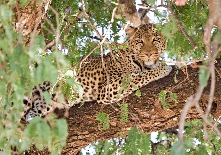 Leopard in a tree in Taragire National Park, Tanzania