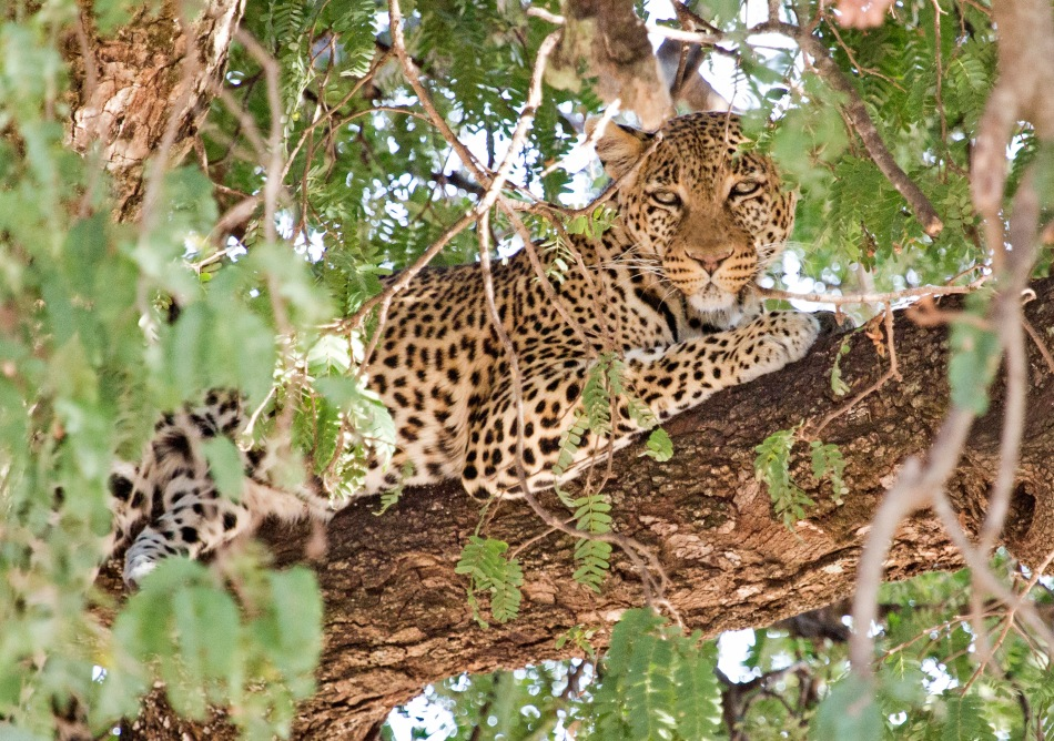 Leopard in a tree in Taragire National Park, Tanzania