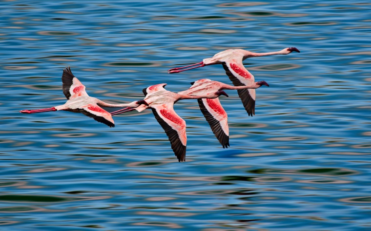 Lesser Flamingo at Big Momella Lake, Tanzania