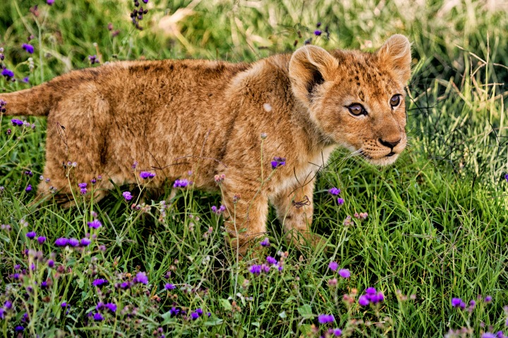 We spent 40 minutes with this young lion cub, his brother and mum in Ngorongoro as the only vehicle present in May