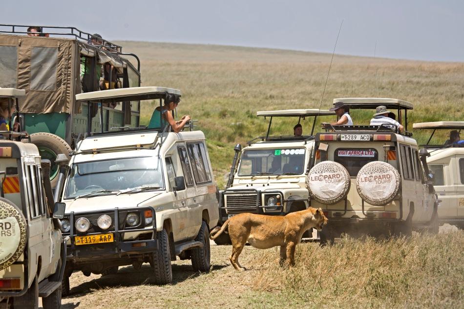 Lion Traffic Jam!