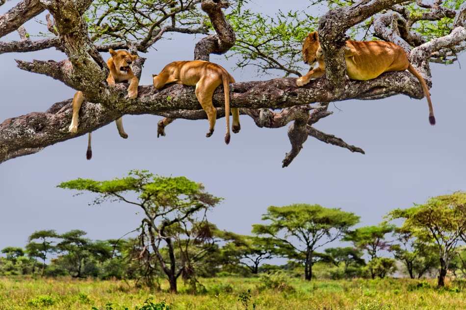 At the Moru/Sopa junction in the Serengeti lions apparently often hang out in trees to avoid the tse tse flies that are prevalent in the area