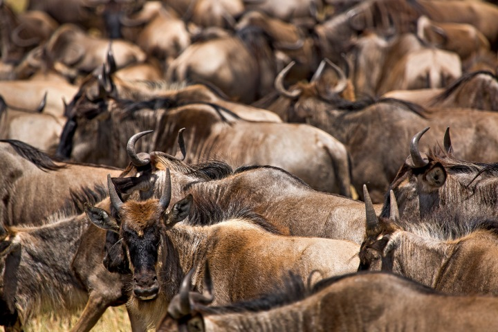 Being surrounded by so many wildebeest is an onslaught on all the senses; sound, smell and sight!