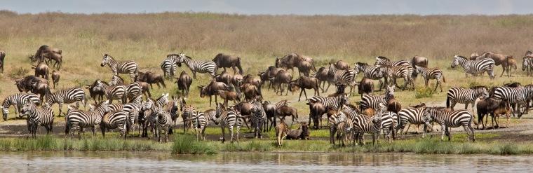 Zebra and Wildebeest at Hidden Valley, Ndutu