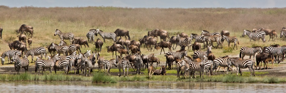 Zebra and Wildebeest at Hidden Valley, Ndutu