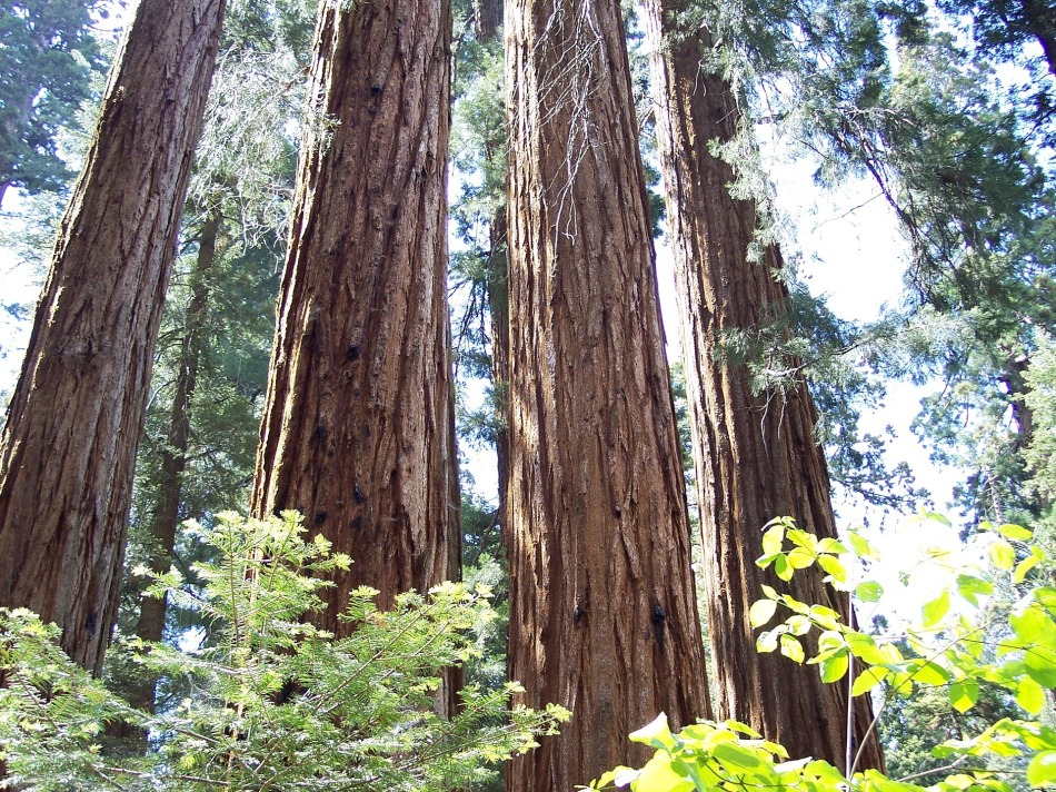 Sequoia Trees, California, USA