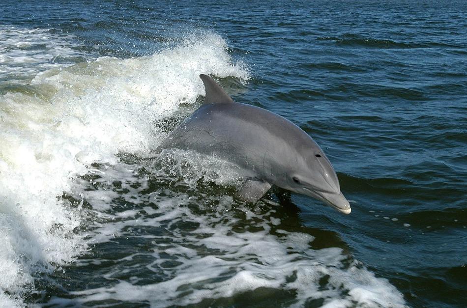 Dolphins Australia