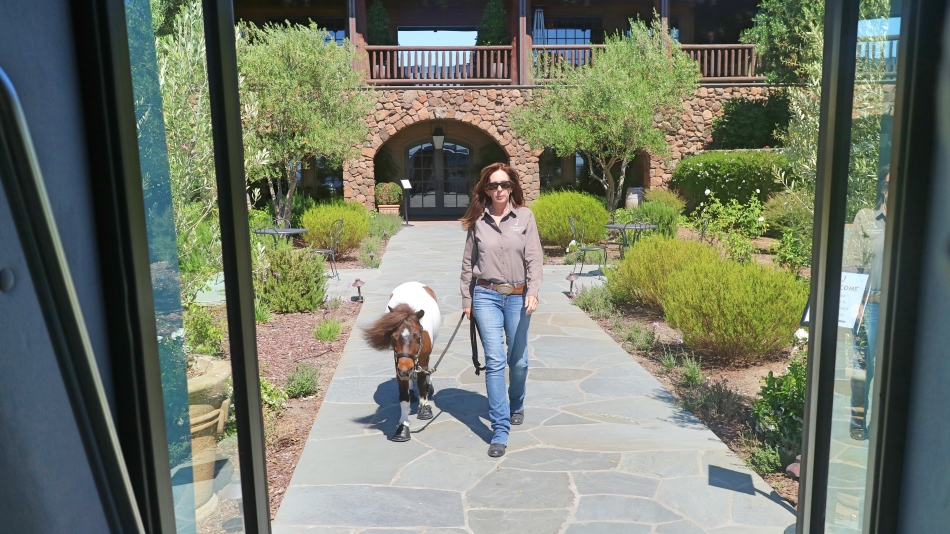 Sweet Jane at Jamieson Ranch Vineyards, Napa, California, USA