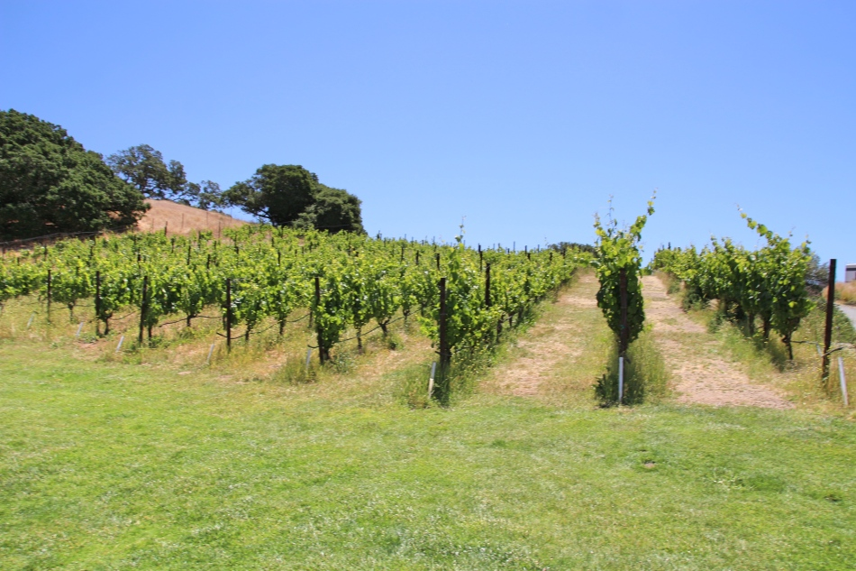 Vineyard at Nicolson Ranch, California, USA