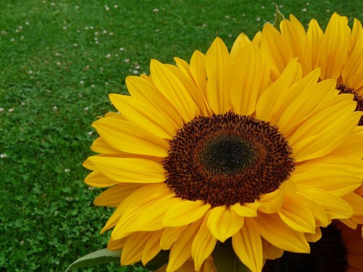 Sunflowers In July