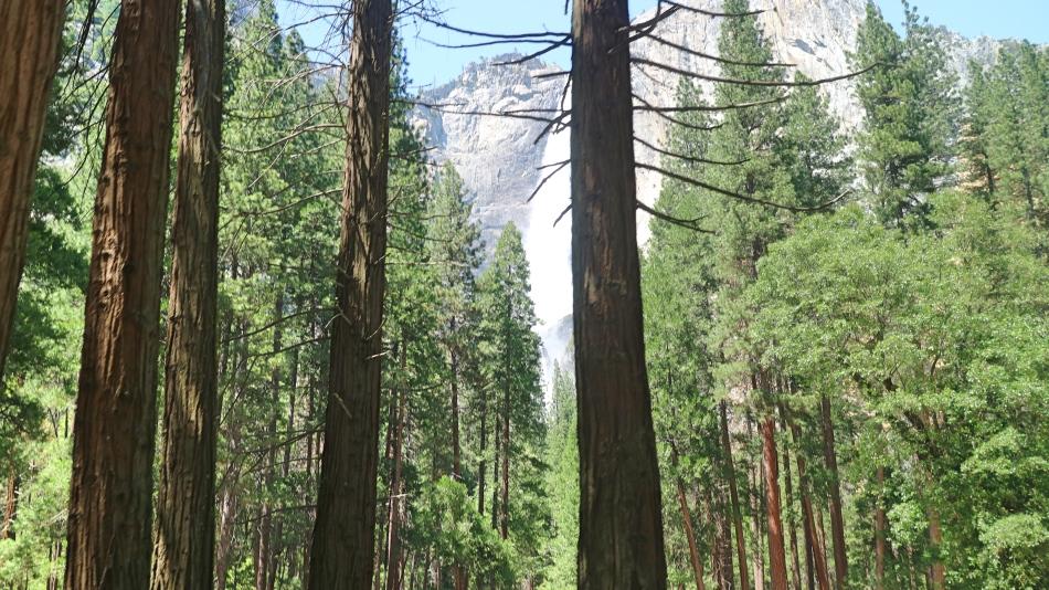 Trees in Yosemite, California, USA