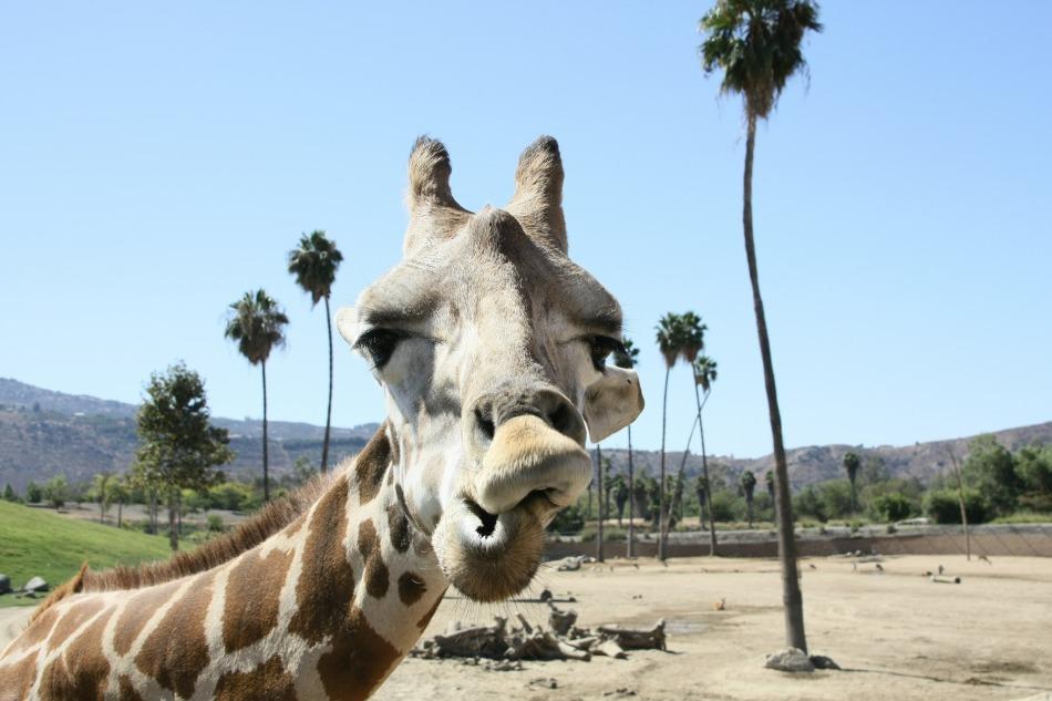Giraffe, San Diego Zoo, California