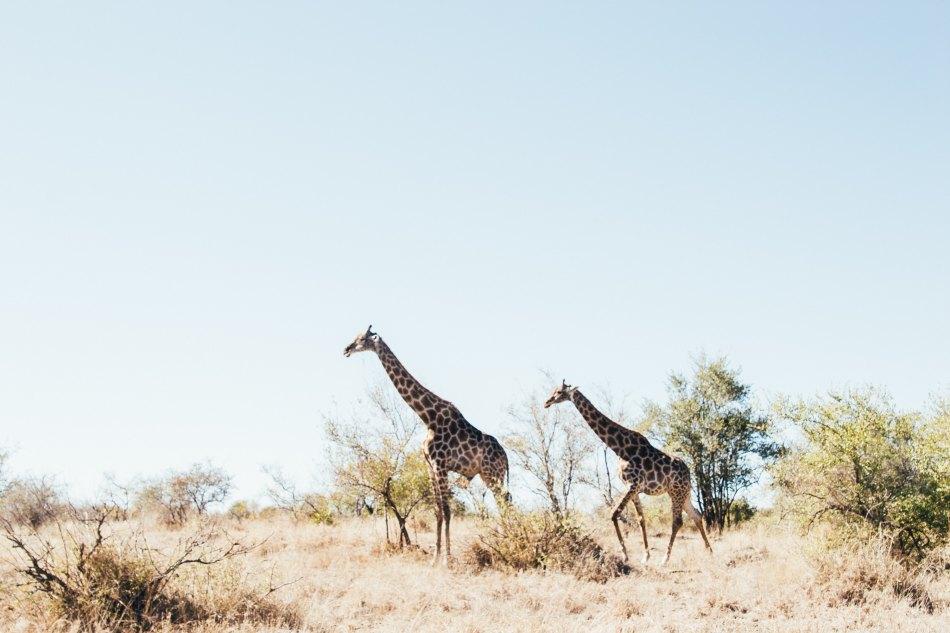 Giraffes on Safari, Africa